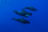 IMG.3012 Short Finned Pilot Whales w/dead Calf