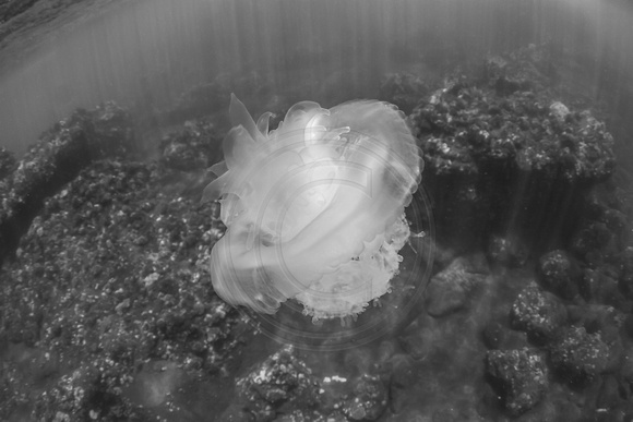IMG.9659 Crown Jelly (Cephea cephea)
