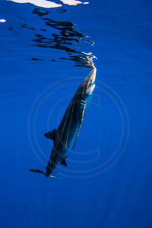 IMG.2032 Blue Shark (Prionace glauca) w/ gunshot wound to mouth & head