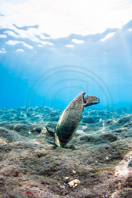 IMG.3086 Green Sea Turtle (Chelonia mydas)