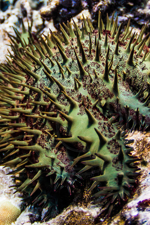 IMG.2141 Crown-of-Thorns Seastar ( Acanthaster planci)