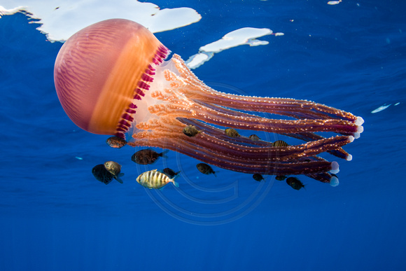 img.0440  Pelagic Jelly (Thysnastoma loriferum)
