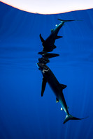 IMG.1863 Blue Shark (Prionace glauca) w/ gunshot wound to mouth & head