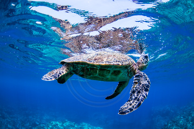 IMG.0745 Green Sea Turtle (Chelonia mydas)